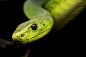 betydningen af drømme om slange - drømmetydning slanger som drømmesymbol