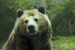 betydningen af drømme om bjørne - drømmetydning bjørn som drømmesymbol