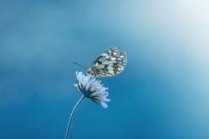 betydningen af drømme om en sommerfugl - drømmetydning sommerfugle som drømmesymbol