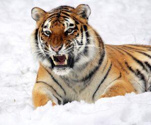 betydningen af drømme om tigre - drømmetydning tiger som drømmesymbol
